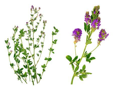Strands of alfalfa isolated on white background.