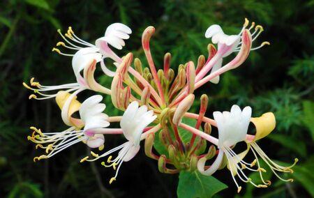 Flower of Honeysuckle Stock Photo