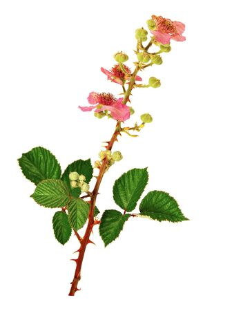 Flowering stem of bramble isolated on white background.