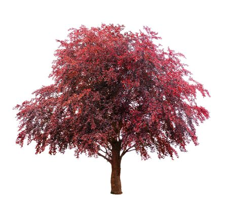Purple beech isolated on white background.
