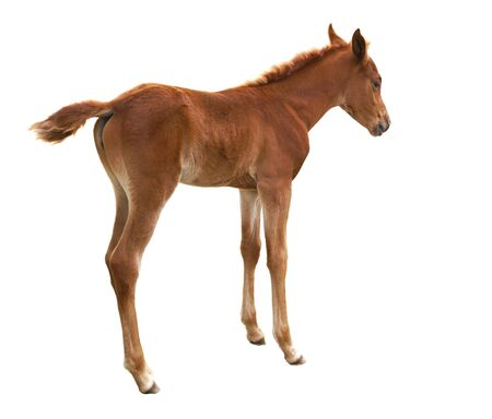 Foal isolated on white background