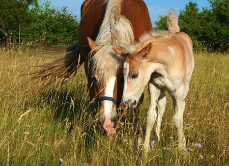 Foal and mare in the meadow.