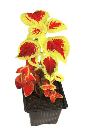 Coleus plant in bright colors, isolated on white background.