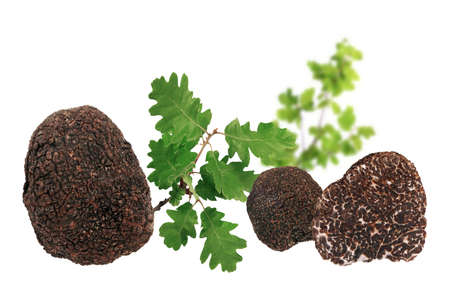 Black truffles and oak leaves isolated on white background.