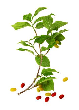 Twig and dogwood fruits isolated on white background.