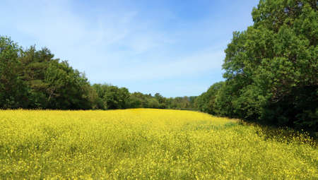 agriculture, blue, cloud, country, culture, day, Yellow rapeseed field bordered by centenary trees.