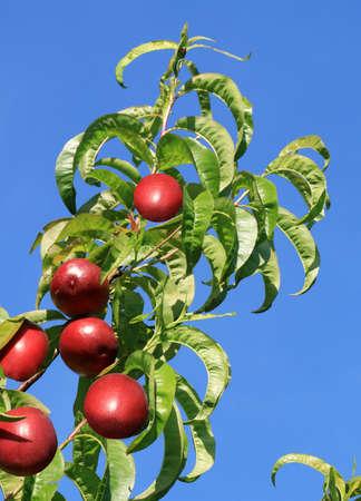 Peach twig laying in the sun bearing ripe fruit.