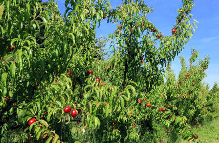 Orchard trees laden with ripe fruit in sunny weather.