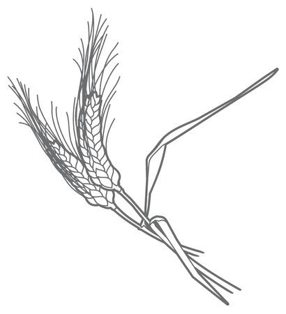oat field: Vector outline illustration of a ears of rye Illustration