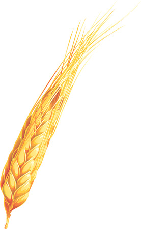 wheaten: Realistic wheat ears. Isolated on white background