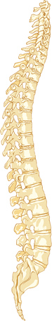 illustration of the Human Anatomy Spine System