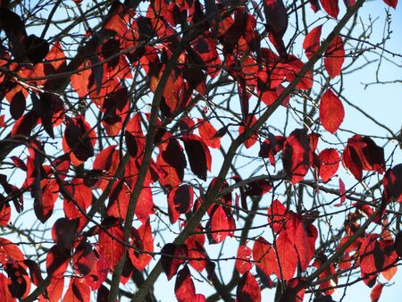Bright red autumn leavs, black tiny branches, sun shining through, blue sky, as background texture