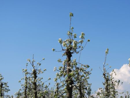 Apple trees blossoming in commercial orchard, well trimmed, on sunny spring day