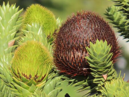 Big round araucaria cones growing on green branches, close up