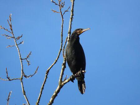 Cormorant perching on a leafless tree branch in winter