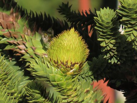 Big round araucaria cone growing on green branches, close up