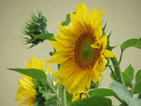 Yellow sunflowers close up, petals, seeds, green leaves, grey wall