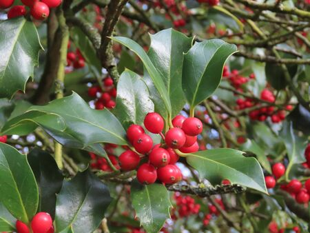 Holly branch close up, red berries green leaves