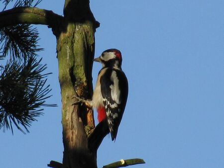 Great spotted woodpecker hammering on dry pine tree trunk