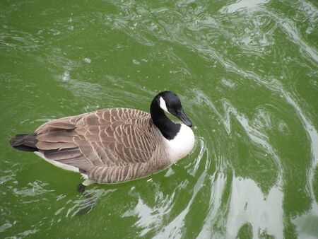 Canada goose swimming in clear green water, view from above