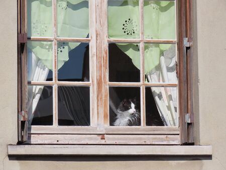 Black and white bicolor cat looking out of a town house vintage window with green lace curtains