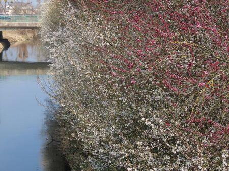 Prunes et cerises sauvages au bord de la rivière. Des tas de fleurs blanches et roses, un ciel bleu se reflétant dans l'eau, un pont à distance Banque d'images