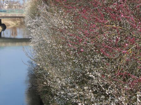 Wild plums and cherries by river. Heaps of white and pink blossoms, blue sky reflecting in water, bridge in distance Archivio Fotografico
