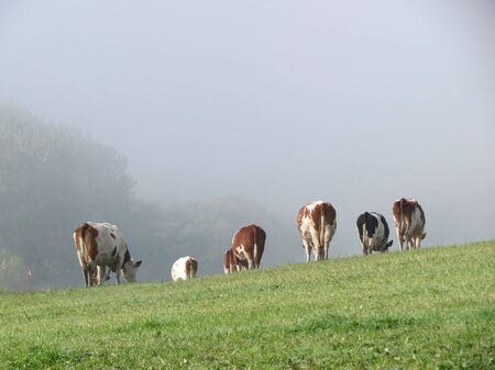 Cows of red and black Holstein breed grazing on misty pasture in autumn, walking away, in Luxembourg