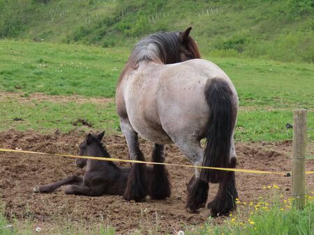 Black foal waking from slumber, roan draft horse mare standing next to it in a green pasture on summer day