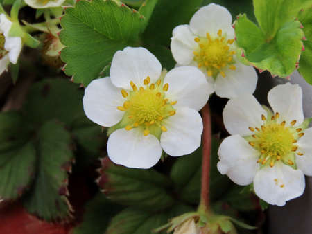 White blossoms of garden strawberry, macro close up, sunshine