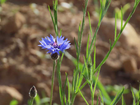 Single blue cornflower with bright green stem and leaves against a blurry brown soil as background, sun is shining through the flower