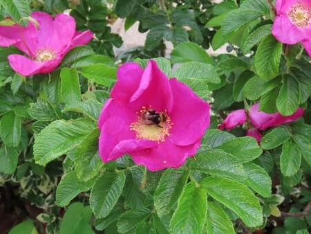 Wild bumble be pollinating pink flower of beach rose. Bee has fuzzy body and there is motion blur from the wings