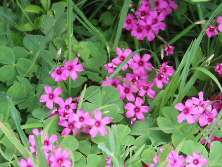 Flowers of pink wood sorrels, some green leaves and blades of grass, close up