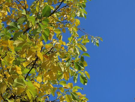 Bright yellow ash tree branches with yellow leaves on a sunny autumn day, against blue sky Archivio Fotografico
