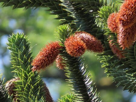 Fluffy male araucaria cones growing on green branches, close up