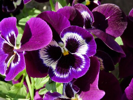Flower pot with lilac colored pansies - Viola tricolor var. hortensis close up