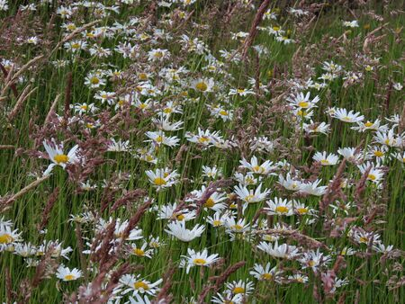 Oxeye daisy field with white flowers and brown festuca grass, background texture. Focus centre low Banque d'images - 149588480