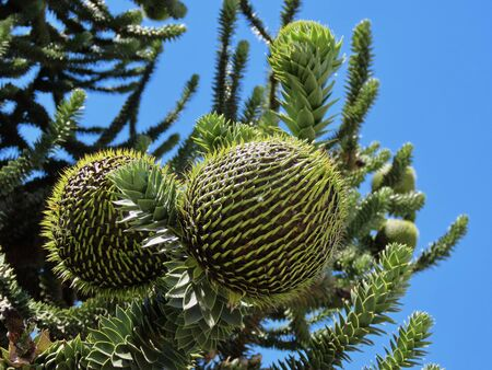 Big round araucaria cones growing on green branches, close up against blue sky 写真素材