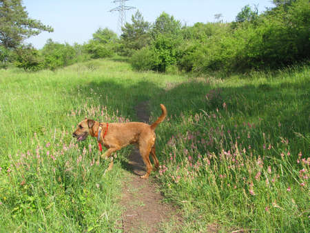 Irish terrier - purebred dog sniffing flowers in sunny meadow. Dog is wearing amber necklace against ticks