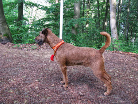 Irish terrier - purebred dog in show stance on a road in forest. Dog is wearing amber necklace against ticks
