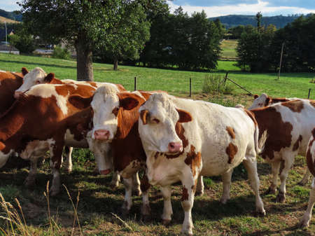 Young male cattle of red Holstein breed standing in line