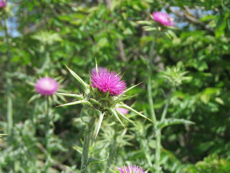 Scotch thistle also Mary or milk thistle - Silybum marianum - pink flower with sharp leaves on blurry green background