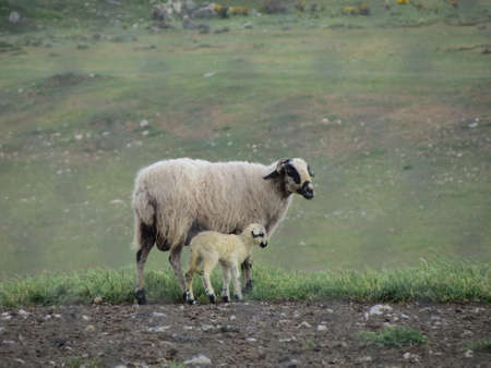 Mother sheep and young lamb of Oveja Churra breed in Sierra de Atapuerca mountains in green pasture. Sheep is white with black markings on face and legs