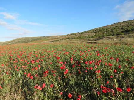 Red poppy field on a bright summer day, in Spain Banque d'images