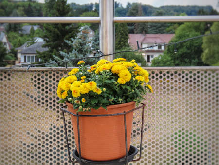 Dwarf Chrysanthemum growing in flower pot on balcony railing, yellow blossoms
