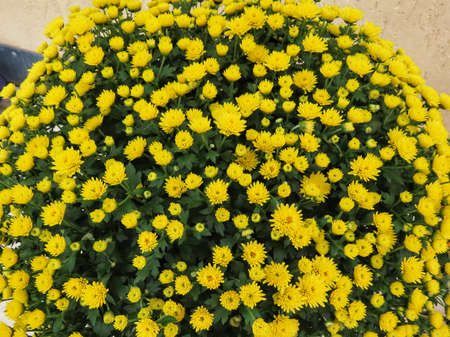 Dwarf Chrysanthemum growing in flower pots, forming big balls, yellow blossoms Banque d'images