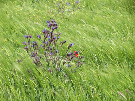 Purple flower common bugloss, common alkanet - Anchusa officinalis - in a green field of rye