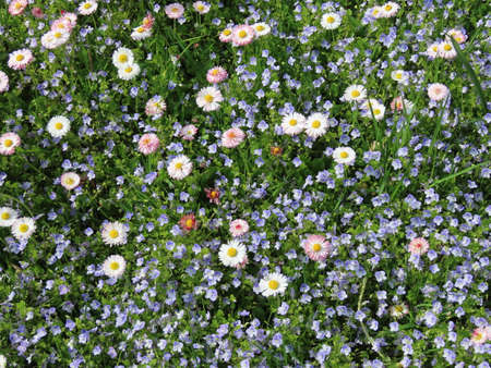 White English daisies and blue veronica flowers growing together on a green lawn