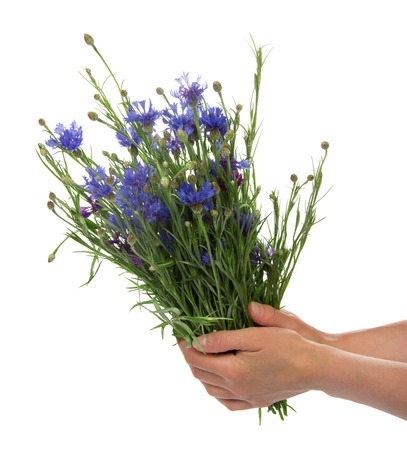 armful: Female hands hold an armful of flowers of the cornflowers, isolated on white