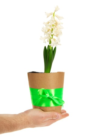 Pot with a hyacinth in the mans hand, isolated on white photo